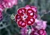 Dianthus (1) D