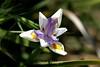 Iris - Monterey (3) D
