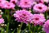 Chrysanthemum (251) D.JPG