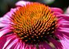 Echinacea (38) D