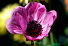Anemone (7) D
