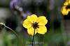 Bidens Ferulifolia (2) D