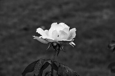 November Black and White Flowers