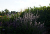 Evening light on Lavendar flowers