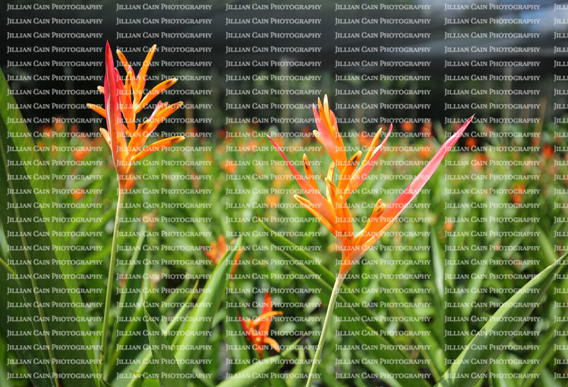 Large grouping of orange heliconias at a local nursery, covered with protective screen