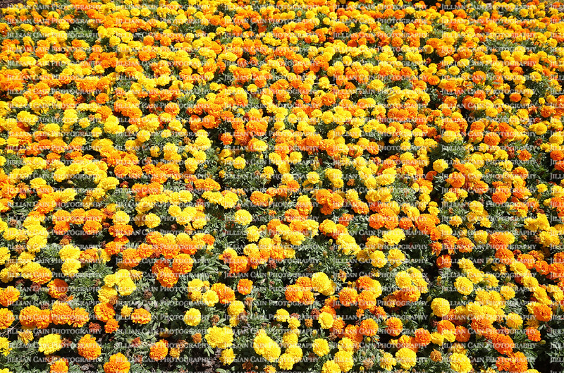 Field of yellow and gold marigolds on a sunny day.  Marigolds are in the daisy family of plants and are known for repelling nematode pests in a vegetable garden.