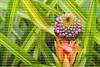bromeliad Aechmea ornate v. nationalis