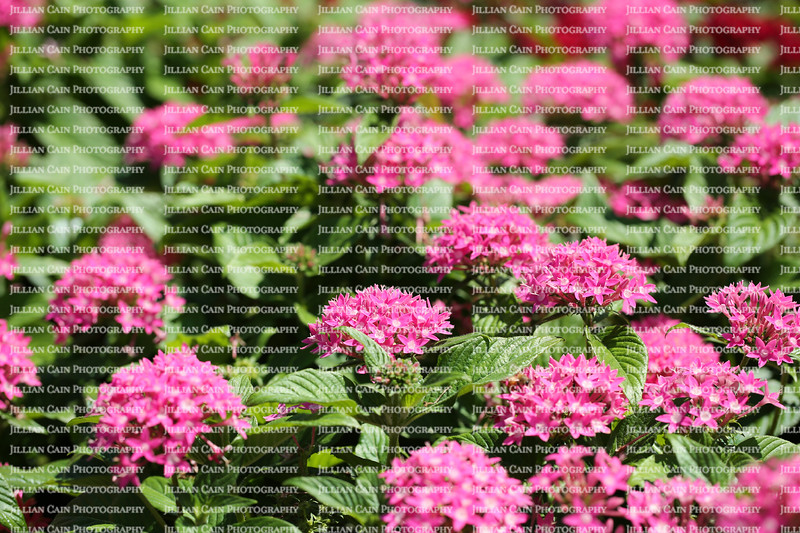 Field of Pink Pentas, also know as Egyptian Star Flowers .  Pentas are a food source for butterflies and hummingbirds and are continuous bloomers.