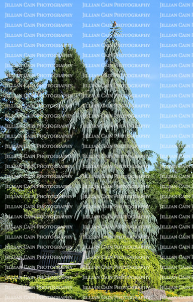 Tall mature weeping Colorado Blue Spruce tree at the Chicago Botanic Gardens.