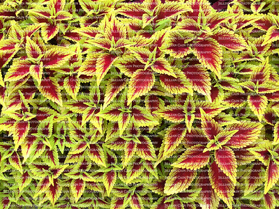 beautiful red and yellow coleus plants