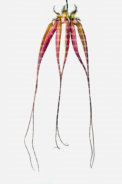 Bulbophyllum orchid, Elizabeth Ann Buckelberry