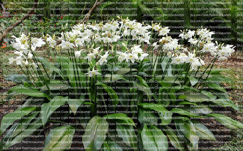 Large cluster of blooming Amazon lilies (also known as Eucharis grandiflora) growing in a shady garden in Florida.