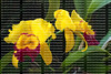 BLC Chyong Guu Chaffinch 'Ta-Hsin' Orchid
