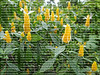 A field of yellow blooming shrimp plants