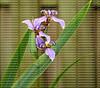 Blooming blue field  iris