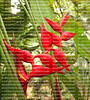 Beautiful red heliconia, a semi-pendent and spiral red inflorescence growing upwards.