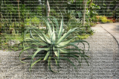 Octopus Century Plant with undulating twisting gray-green leaves growing in a tropical arid garden.