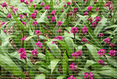 A field of pink ground orchids