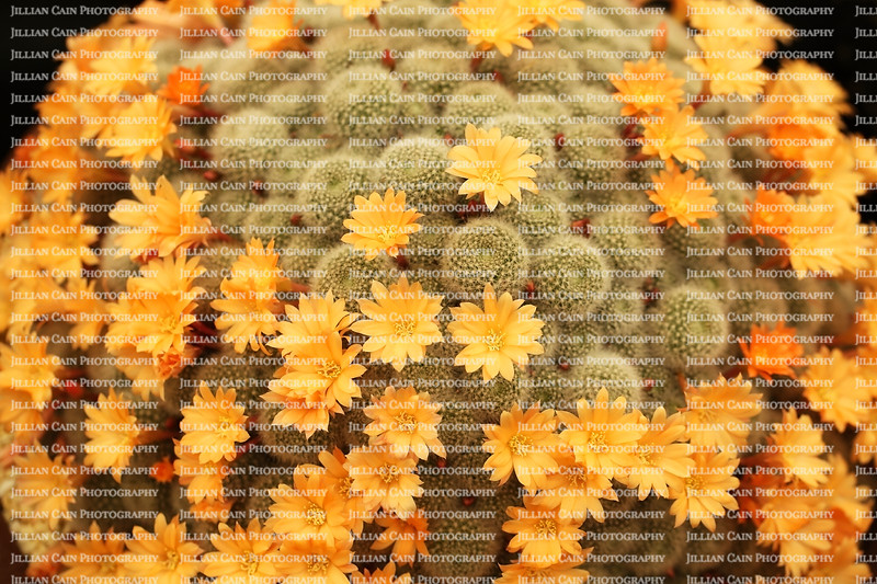 amazing display of cactus flowers on the apricot ice cactus