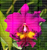 Close up of a beautiful fuchsia cattleya orchid with bright yellow on its throat.