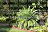 Giant Dioon in the Cycad family looks like a large fern with stiff fronds and sharp edges.