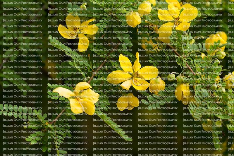 Desert Cassia in bloom