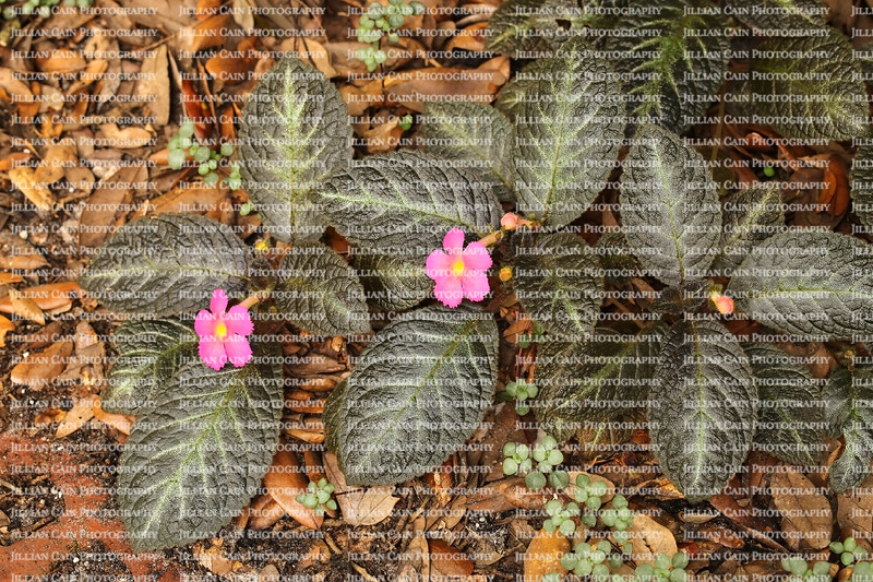 pink flowering Episcia growing as a ground cover is a member of the African violet family of plants
