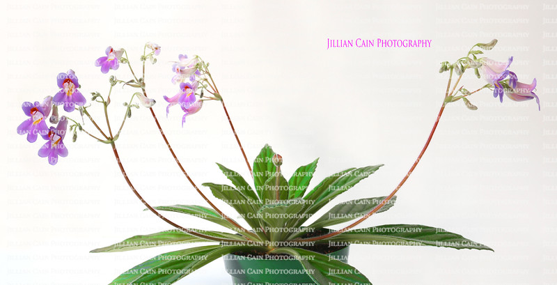 Primalina longifolia