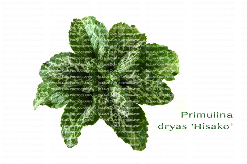 Primulina dryas Hisako