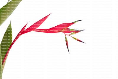 Beautiful Quesnelia bromeliad bloom isolated on white