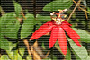 red Passiflora flower
