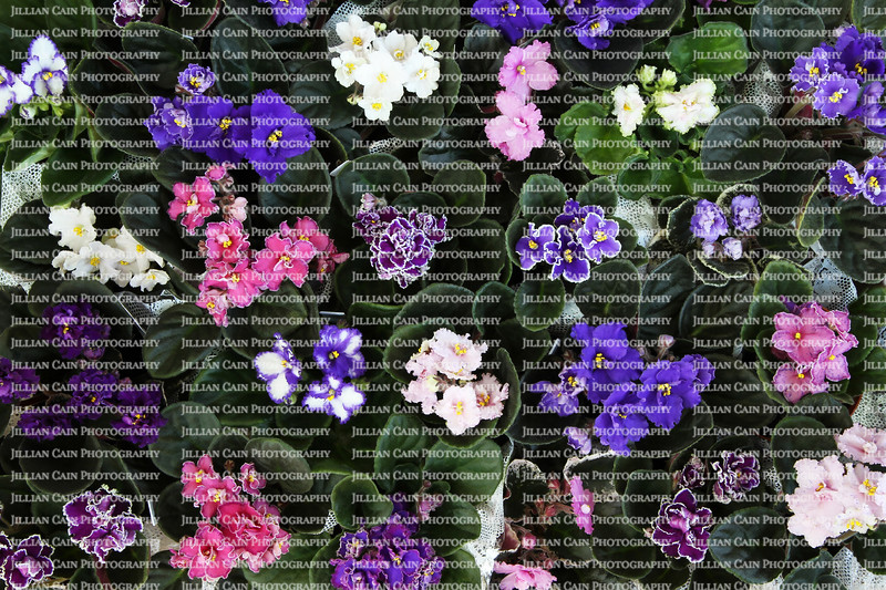 An box of blooming African violets