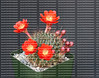 Multiple red blooms of a potted Rebutia Kupperiana cactus, isolated against a dark background.