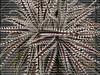 Dyckia Brittle Star