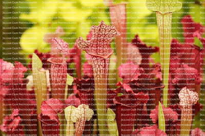 Beautiful carnivorous red and green pitcher plants