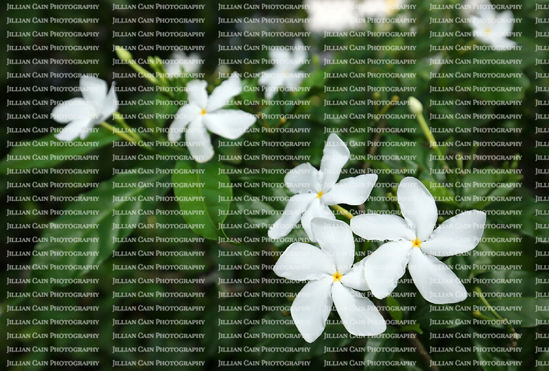 Close up of the white pinwheel jasmine flowers growing in Florida. The pinwheel jasmine is a medium sized green shrub with bright white 5 star flowers and is native to India.