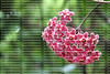 Hoya, also known as the Wax Plant,  'Pink Silver'