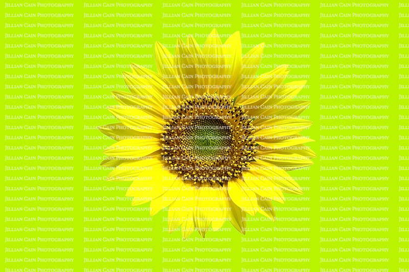 Isolated sunflower against bright green background