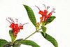 Lipstick Plant in bloom, Aeschynanthus  splendidus, a plant in the Gesneriad family.