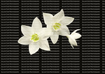 Three Amazon Lily blooms, isolated on black