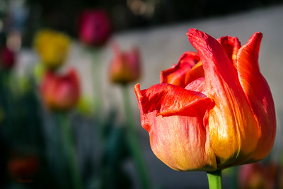 Boulevard Tulips