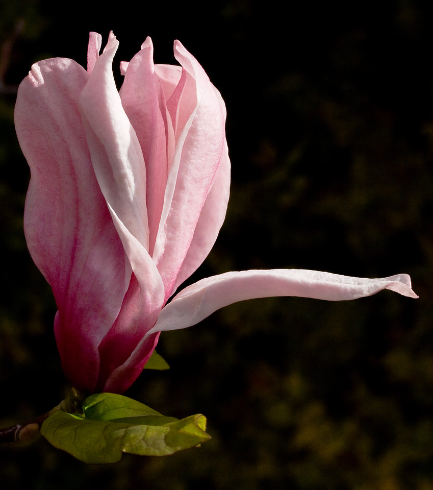 Magnolia bloom with a rogue petal.<br /> <br /> Location: Hood River, Oregon<br /> <br /> Lens used: Canon 60mm f2.8 Macro