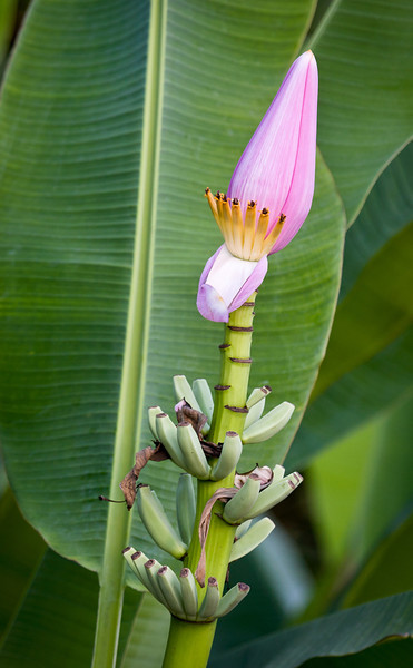 I wonder how many people aren't aware that the banana palm produces a lovely flower, in addition to a tasty fruit.<br /> <br /> Location: Huay Xai, Laos<br /> <br /> Lens used: Canon 100-400mm f4.5-5.6 IS