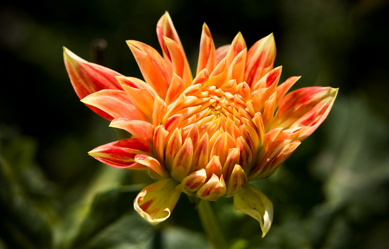 A young Dahlia with petals like fire.<br /> <br /> Location: Hood River, Oregon<br /> <br /> Lens used: Canon 70-200mm f2.8 IS with 25mm extension tube