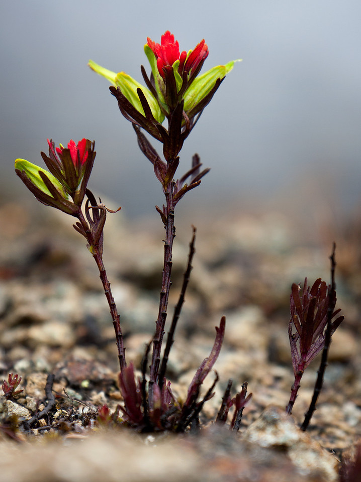 Andean Paintbrush.<br /> <br /> Location: Parque Nacional Cajas (Cajas National Park), Ecuador<br /> <br /> Lens used: Canon 17-55mm f2.8 IS