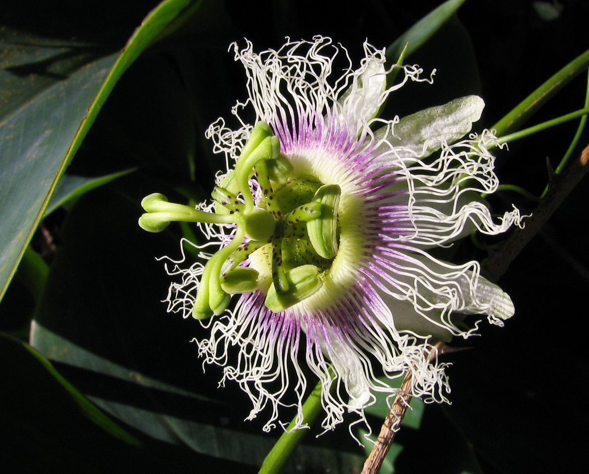 Passion flower.<br /> <br /> Location: Ruhengeri, Rwanda<br /> <br /> Lens used: n/a (Canon S1 IS point-and-shoot)