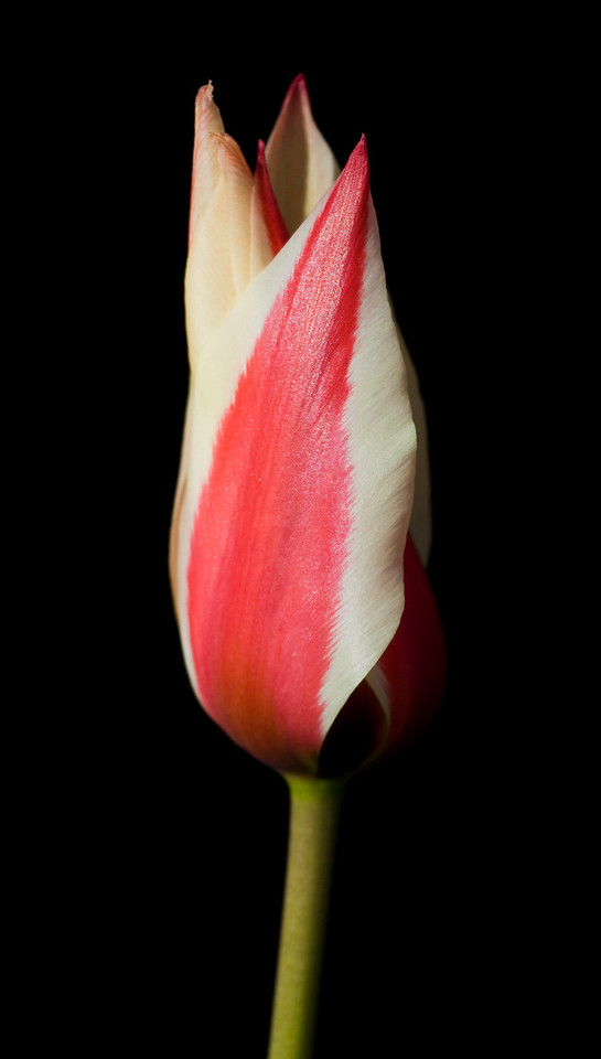 Tulip against a dark background.<br /> <br /> Location: Hood River, Oregon<br /> <br /> Lens used: Canon 100-400mm f4.5-5.6 IS