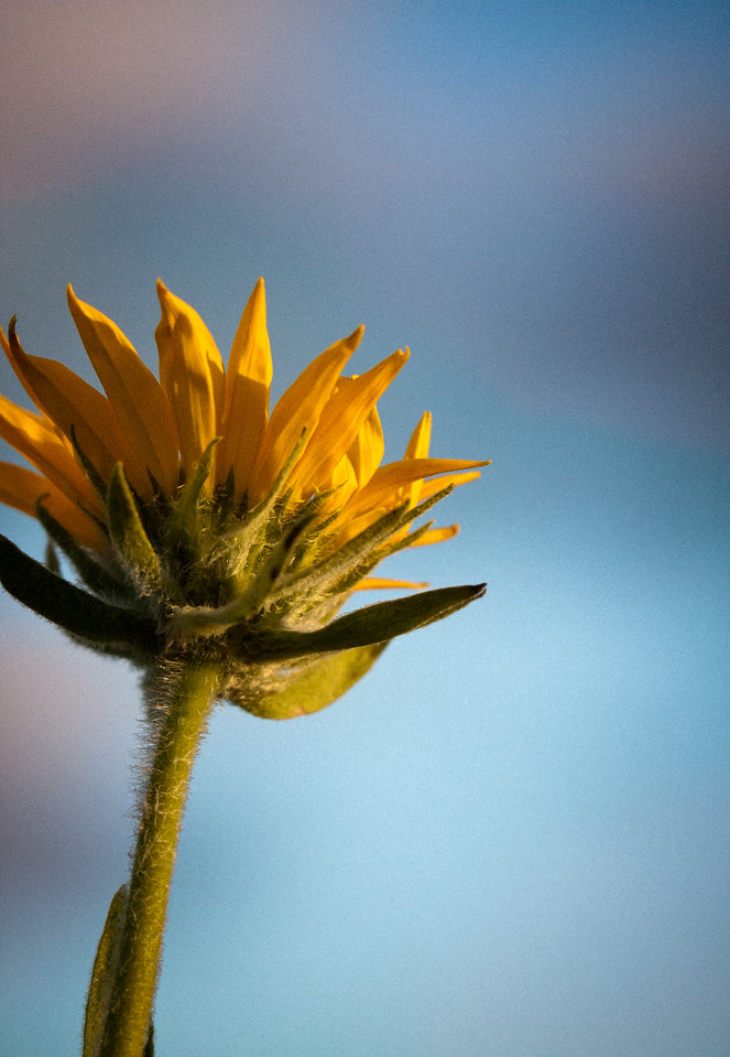 Arrowleaf Balsamroot flower, with a little artistic processing applied.<br /> <br /> Location: Hood River, Oregon<br /> <br /> Lens used: Canon 100mm f2.8 IS Macro