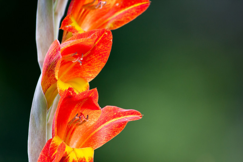 Gladioli.<br /> <br /> Location: Madeira, Portugal<br /> <br /> Lens used: Canon 100-400mm f4.5-5.6 IS