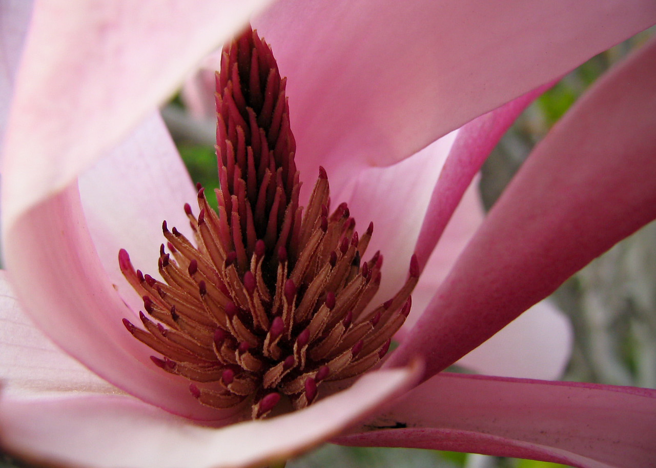 Inside a Magnolia flower.<br /> <br /> Location: Hood River, Oregon<br /> <br /> Lens used: n/a (Canon S1 IS point-and-shoot)